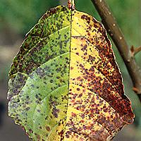 Škvrnitosť listov čerešní a višní